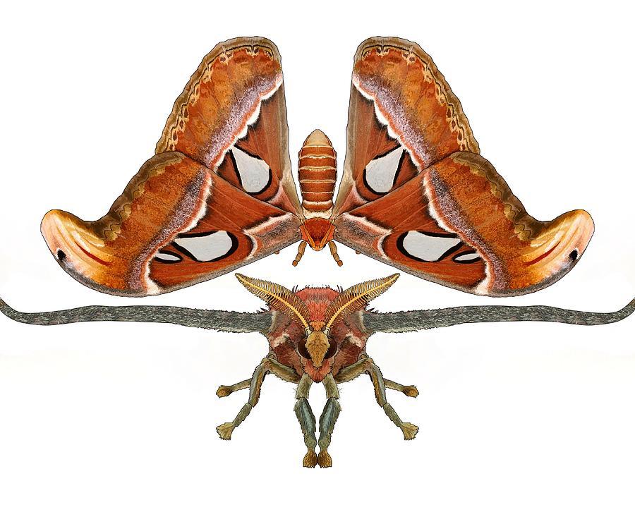 Stratton Digital Art - Atlas Moth7 by Joan Stratton