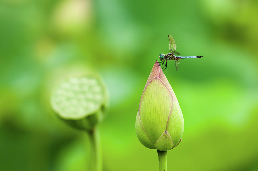 Atop the Lotus Bud by Todd Henson