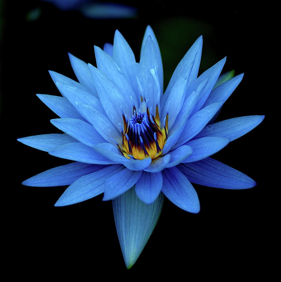 Attractive Blue, Waterlily Photograph by I Love Photo And Apple.