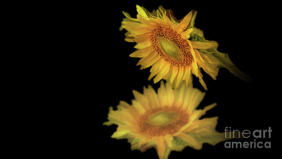August Sunflower Reflection by Janette Boyd
