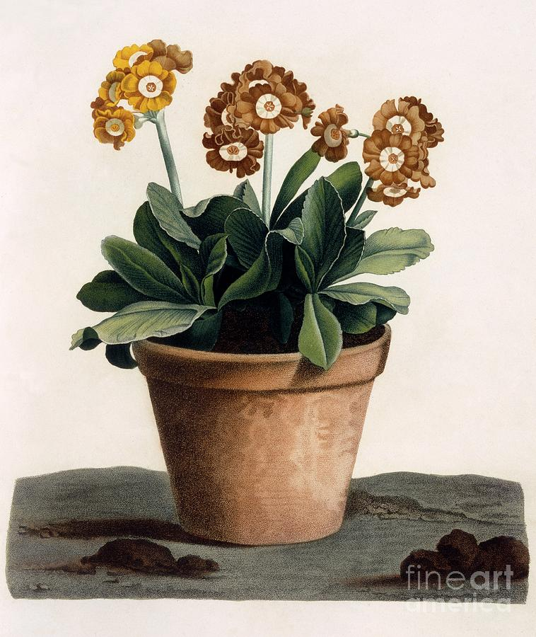 Auricula In A Pot Drawing by Heritage Images