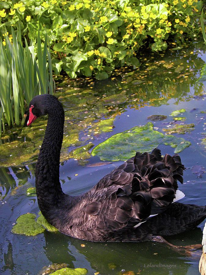 Australian Black Swan Cob Photograph