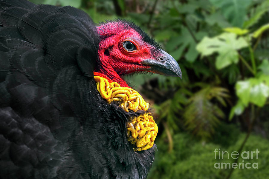 Australian Brushturkey by Arterra Picture Library