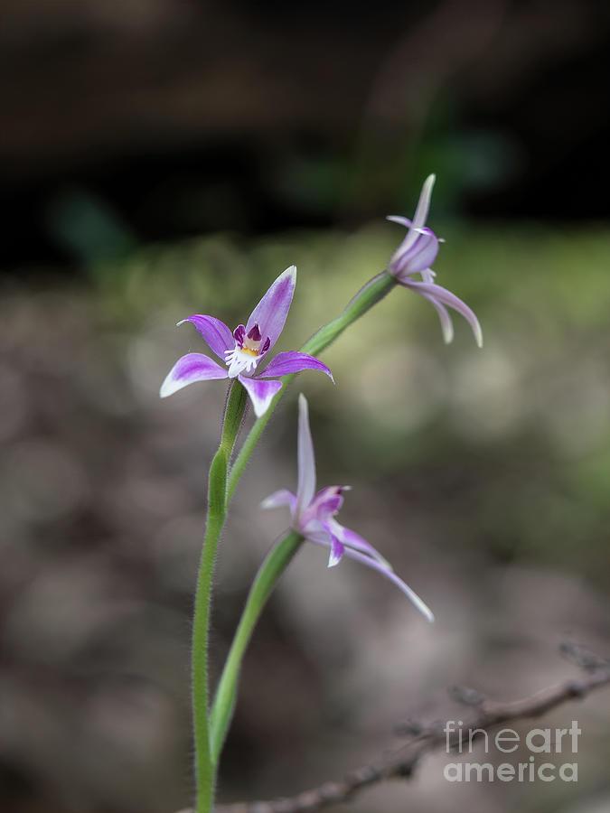 Australian Fairy Orchid by Elaine Teague