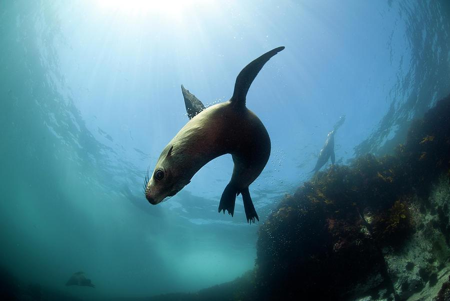 Australian Fur Seal  With Sun Burst Photograph by Alastair Pollock Photography