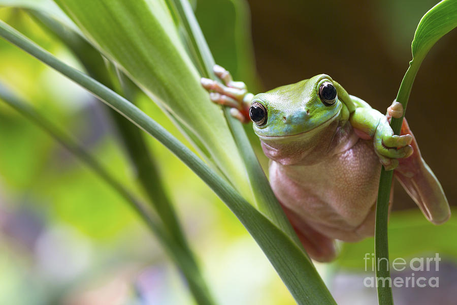 Small Photograph - Australian Green Tree Frog On A Leaf by Andrew Lam