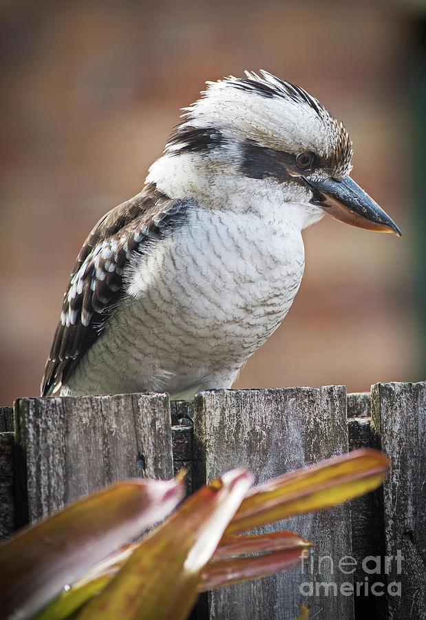 Australian Kookaburra by Russell Brown