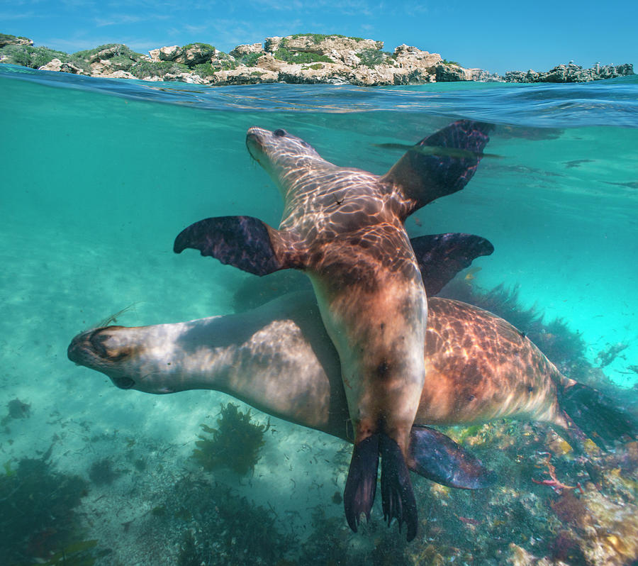 Mp Photograph - Australian Sea Lion Pair, Coral Coast by Tim Fitzharris