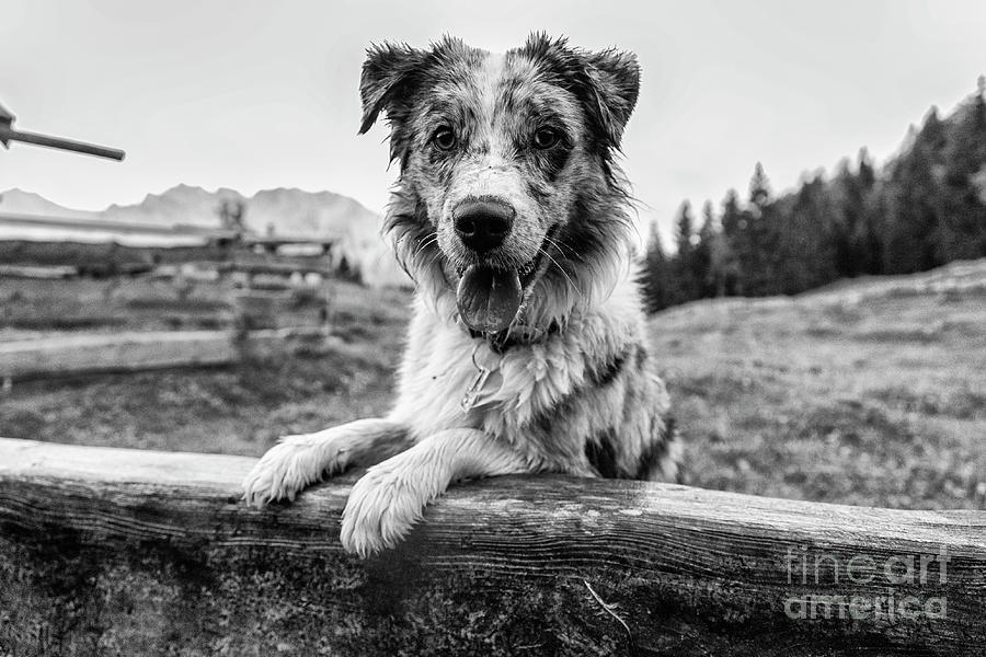 Australian Shepherd on the Alm by Fabian Roessler
