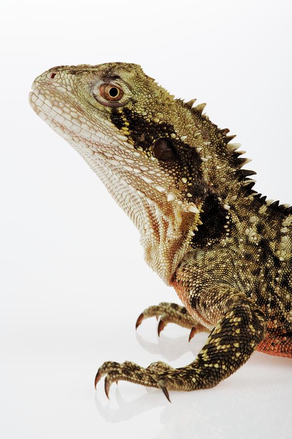 Australian Water Dragon Physignathus Photograph by Martin Harvey