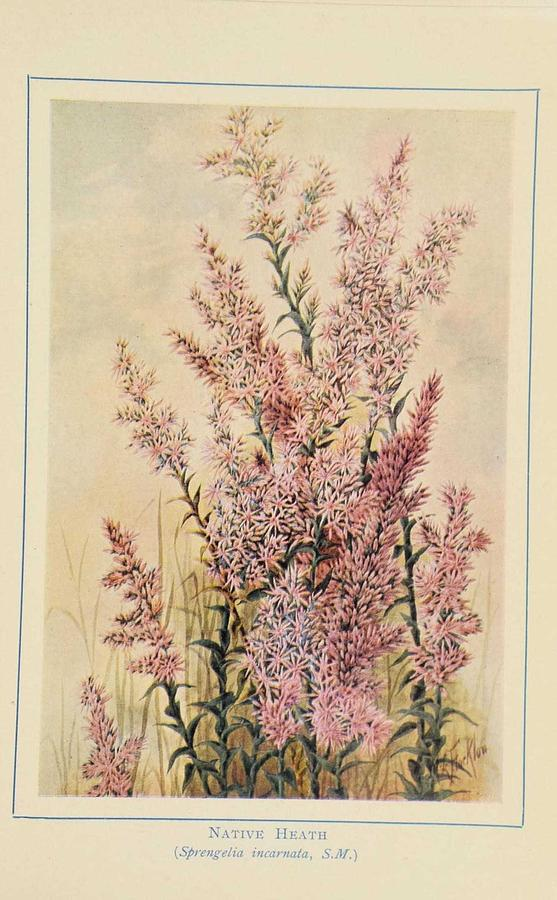 Flower Painting - Australian Wild Flowers  8 by Celestial Images