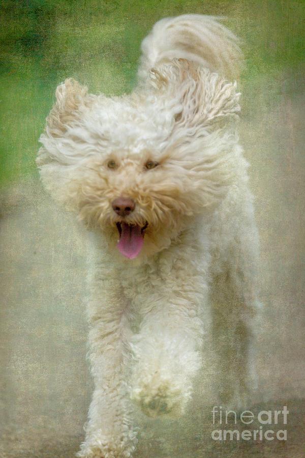 Australien Labradoodle Dog by Heiko Koehrer-Wagner