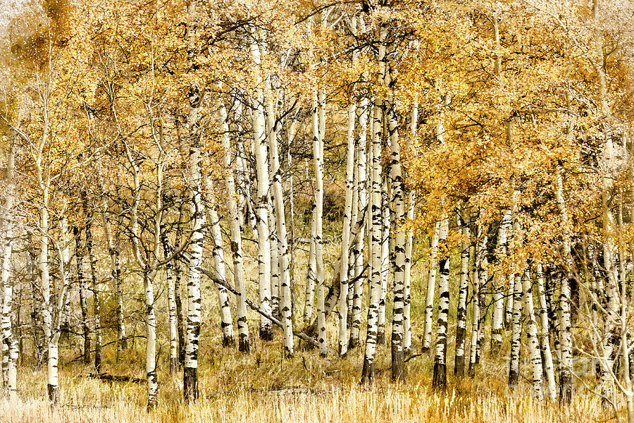 Autumn Aspen by Brad Allen Fine Art