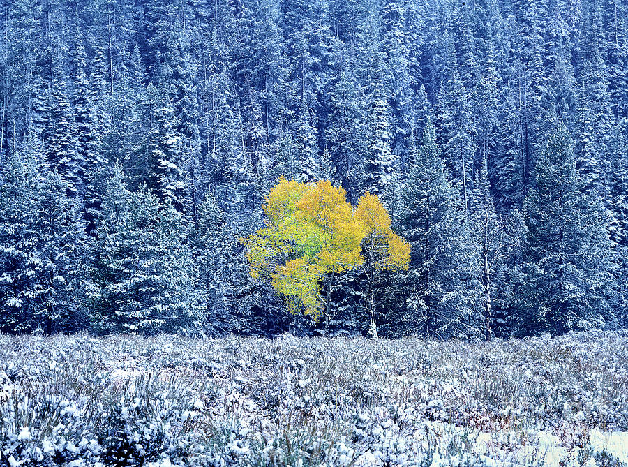 autumn aspen snowstorm grand tetons natio by Dave Welling