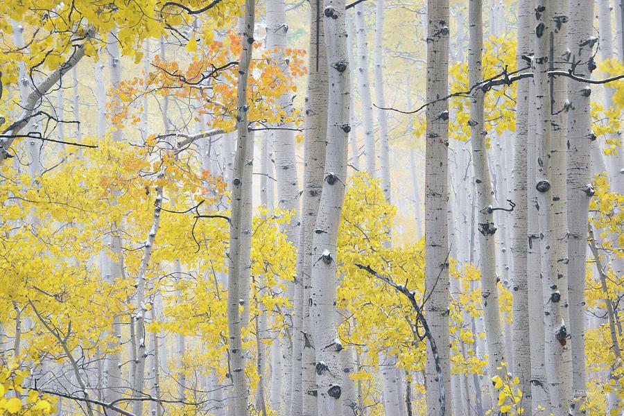 Aspen Forest Photograph - Autumn Aspens 2 by Leland D Howard