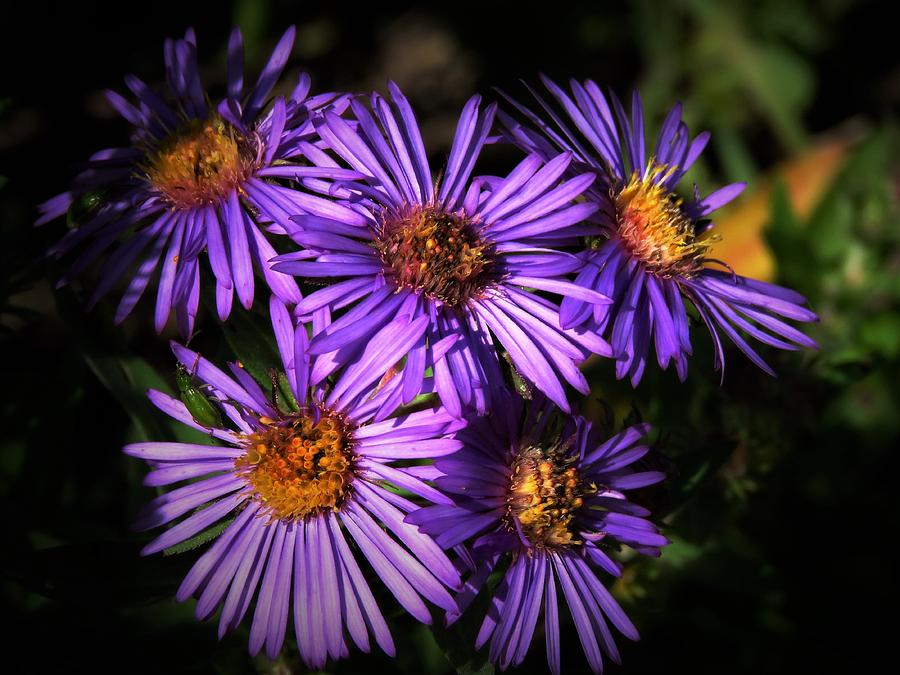 Autumn Asters  by Lori Frisch