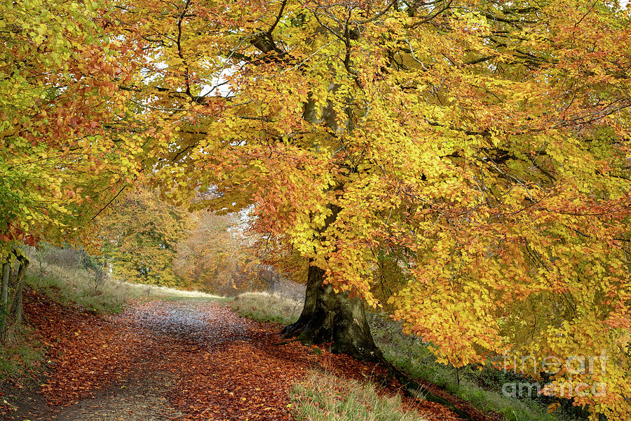 Autumn Photograph - Autumn Beech Walk by Tim Gainey