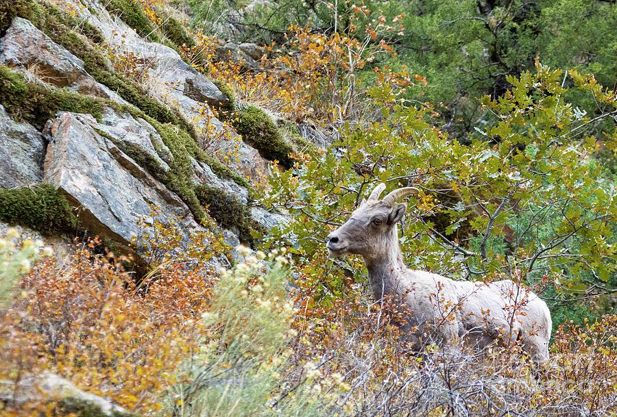 Autumn Bighorn Sheep In Waterton Canyon by Steve Krull