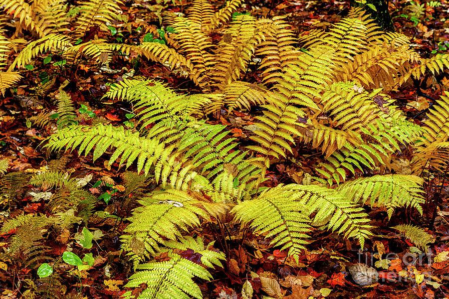 Autumn Cinnamon Fern by Thomas R Fletcher