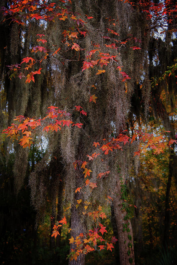 Autumn Color in Spanish Moss by Bud Simpson