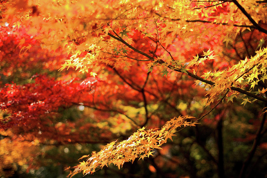 Autumn Colors Of Kyoto Photograph by Sunnywinds