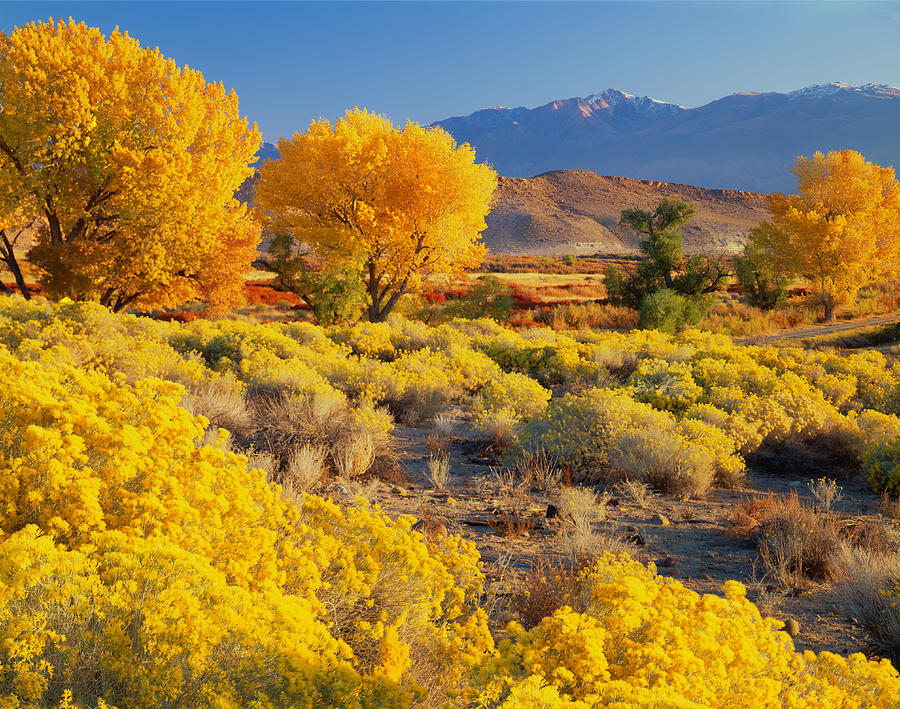 Autumn Cottonwood Trees Photograph by Ron thomas