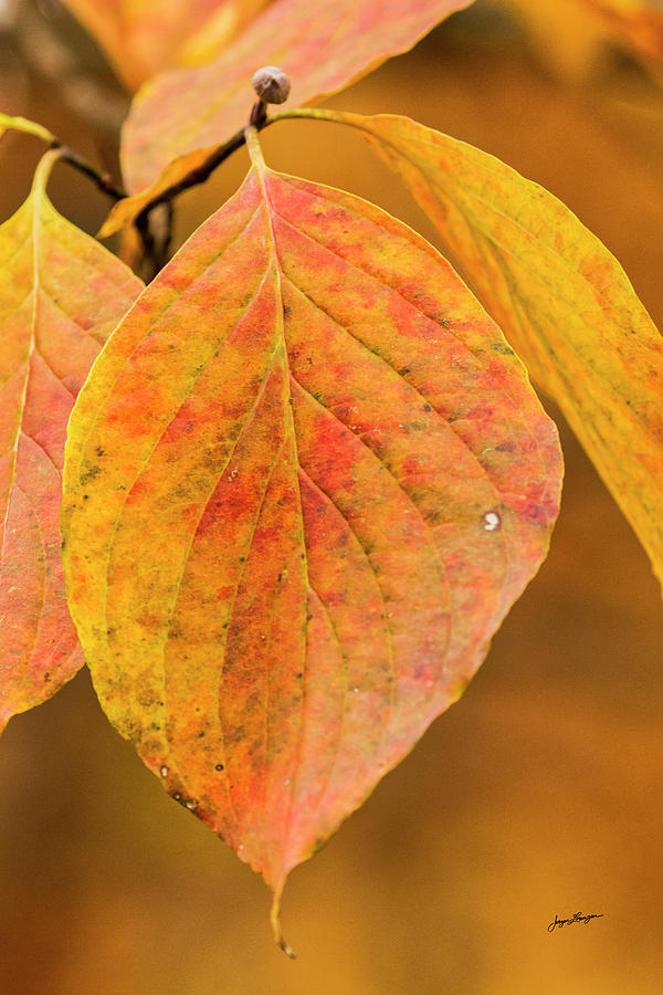 Autumn Dogwood by Jurgen Lorenzen