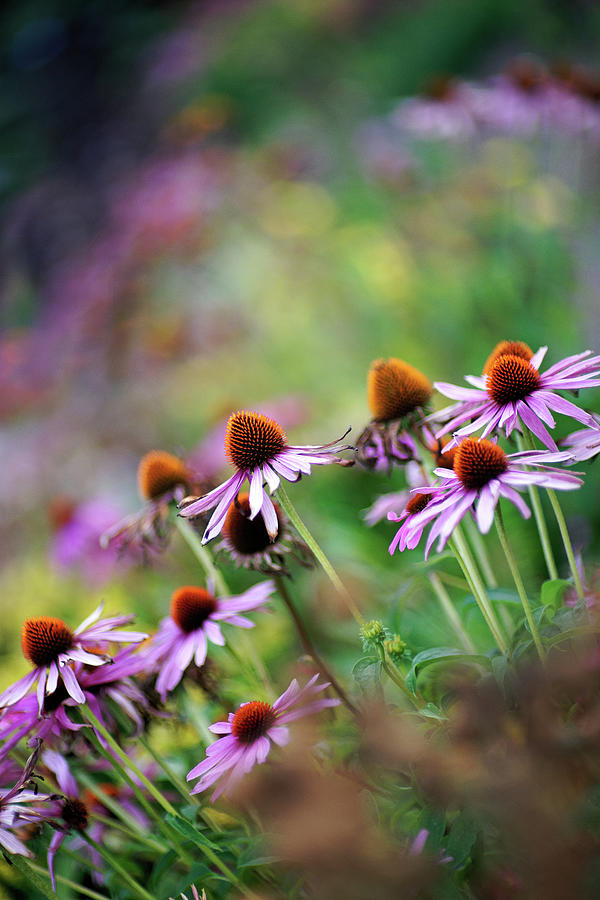 Autumn Echinacea Photograph by By Kelly Sereda © 2011