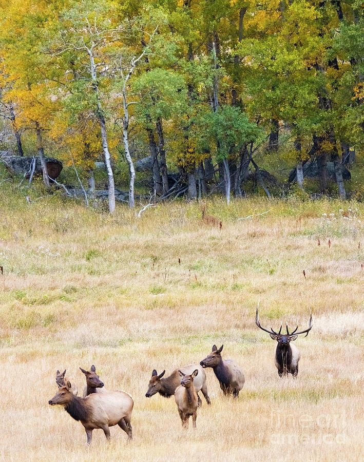 Autumn Elk Herd Photograph