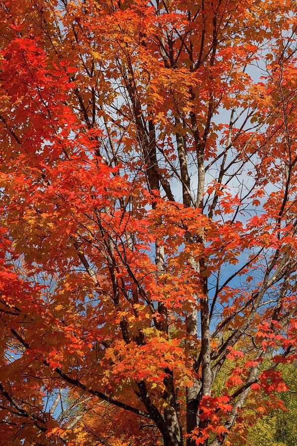 Autumn Foliage III by Cliff Wassmann