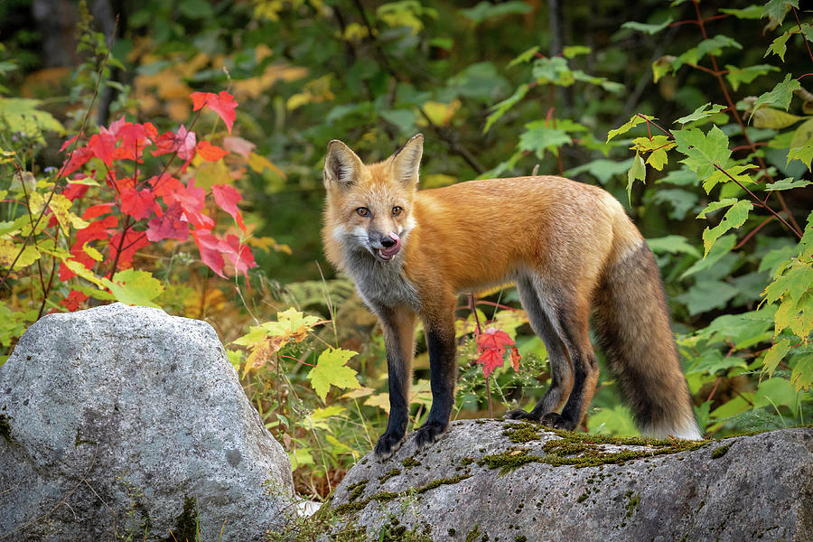 Autumn Fox by Colin Chase