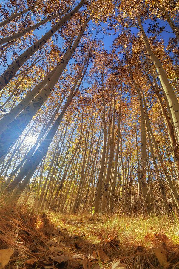Autumn Giants by Tassanee Angiolillo