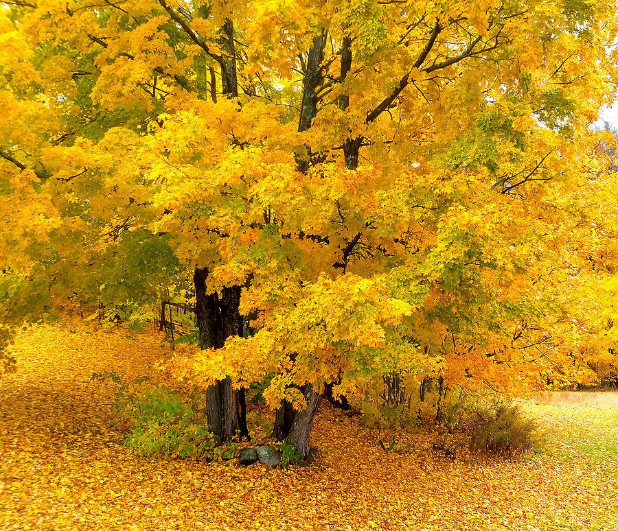 Autumn Gold Photograph by Ali Bailey