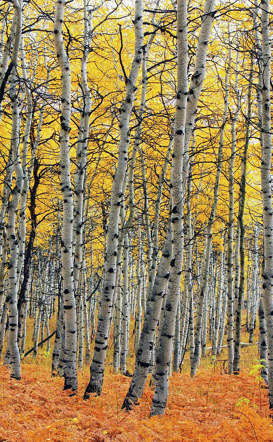 Aspen Photograph - Autumn Golden Aspens by Johnny Adolphson