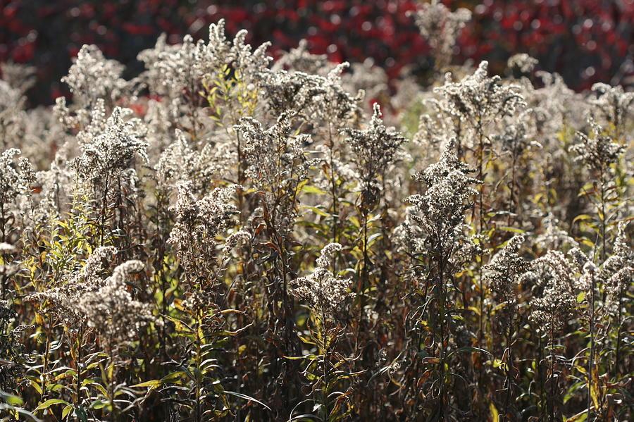 Autumn Goldenrod by AJP