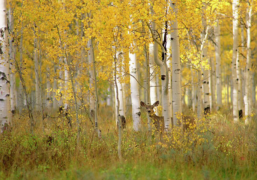 Autumn In Uinta National Forest. A Deer Photograph by Mint Images - David Schultz