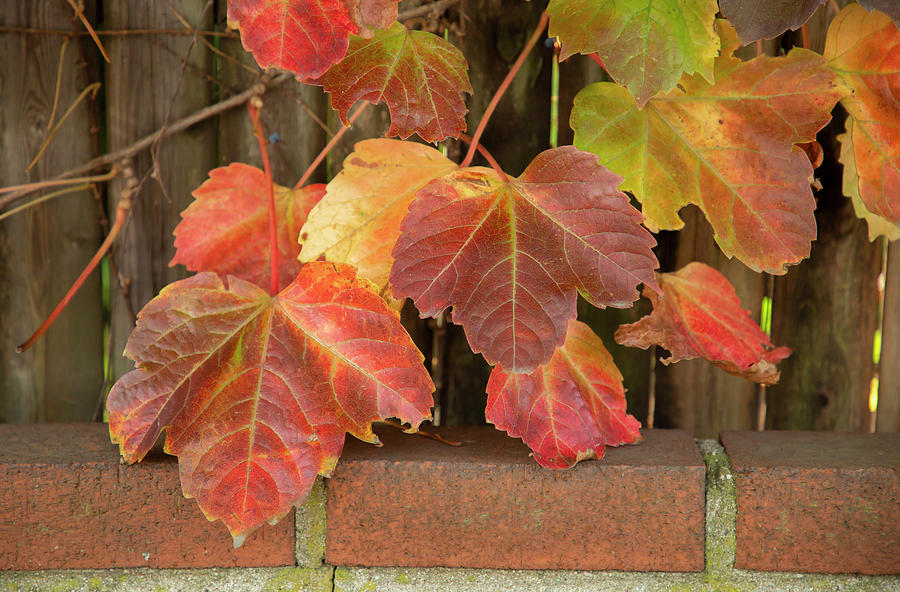 Autumn Ivy by Cate Franklyn
