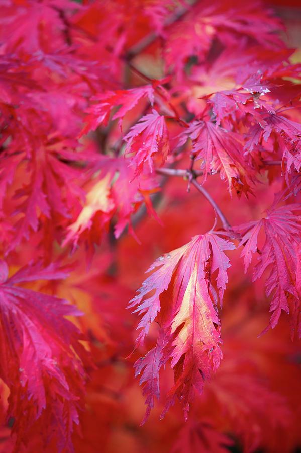 Autumn Japanese Maple by Lauri Novak