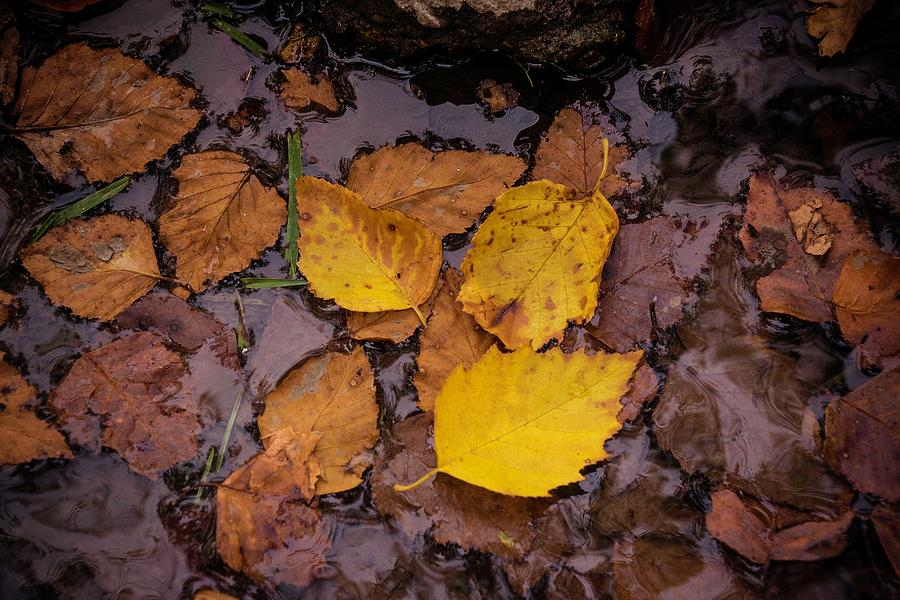 Autumn Leaves in Water by Catherine Trevor-Roberts