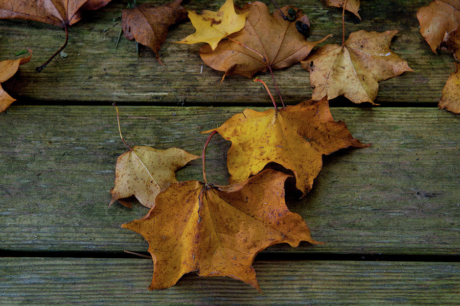 Autumn Leaves on Wood by Helen Northcott
