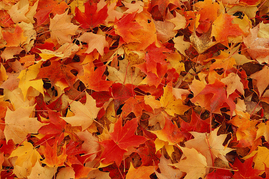 Autumn Leaves Photograph by Photodisc