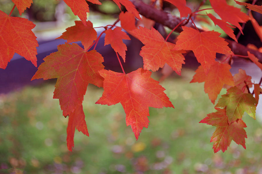 Autumn Maple by Tikvah's Hope