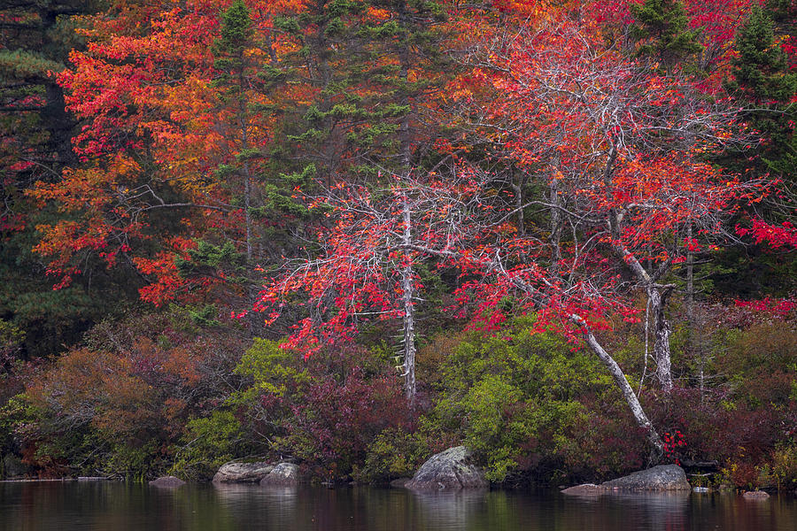 Autumn Maple Twins by Irwin Barrett