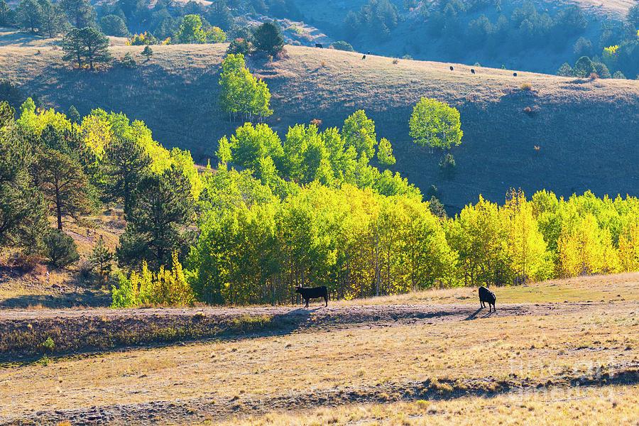 Autumn On The Cattle Range Photograph