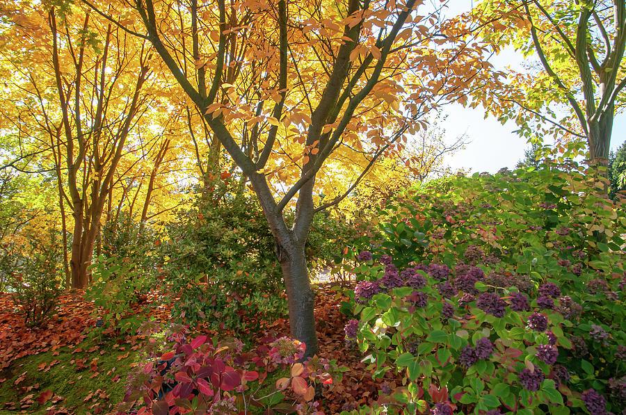 Autumn Prunus Trees and Blooming Hydrangeas by Jenny Rainbow