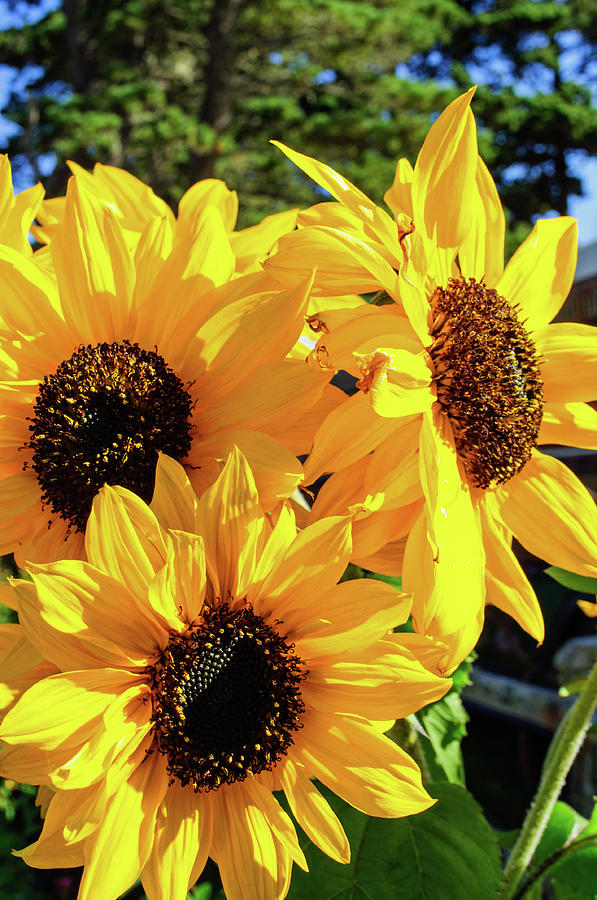Autumn Sunflowers by Tikvah's Hope