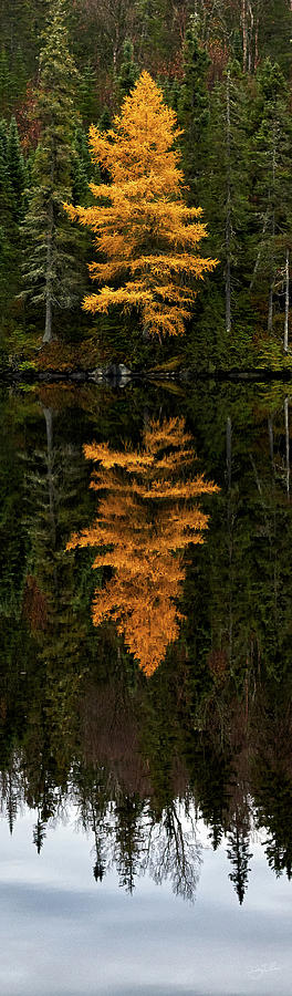 Autumn Tamarack  by Doug Gibbons