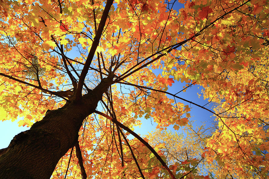 Autumn Tree - Fall Leaves Photograph by Konradlew