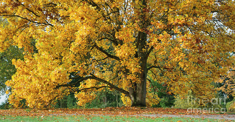 Autumn Tulip Tree at RHS Wisley Gardens by Tim Gainey