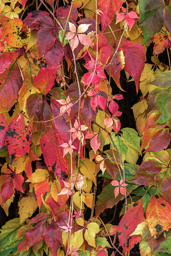 Autumn Vines Two by Wim Lanclus